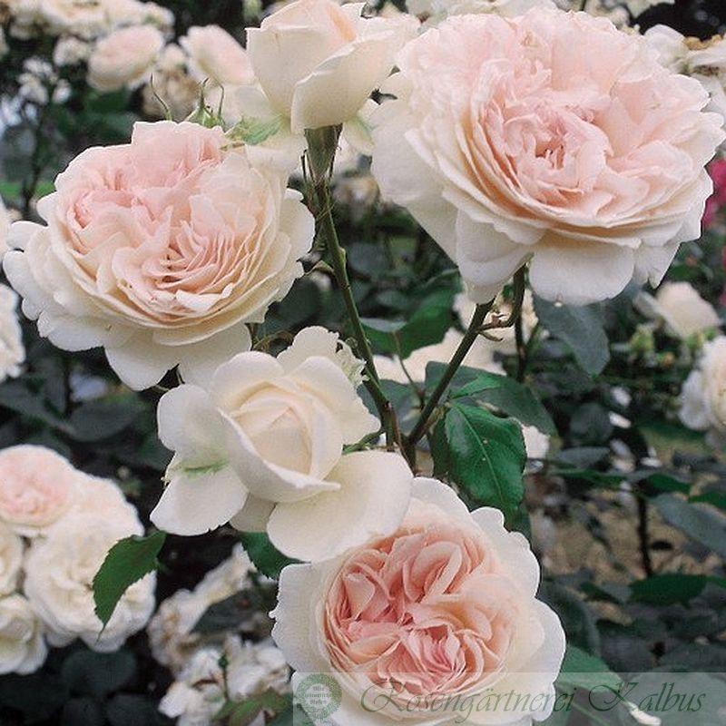 Moderne Rose Sebastian Kneipp®