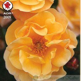 Moderne Rose Sedana®