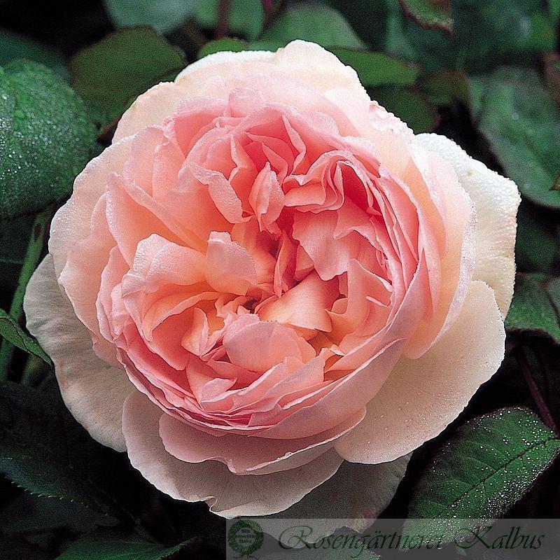 Englische Rose Sharifa Asma®