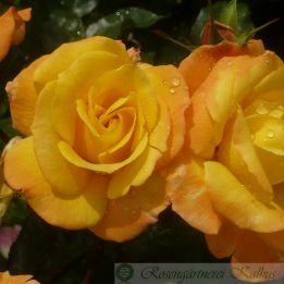 Besondere Rose Soleil du monde®