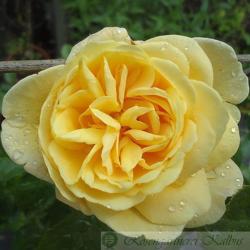 Besondere Rose Soleil Vertical®
