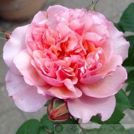 Besondere Rose Sonia Rykiel®