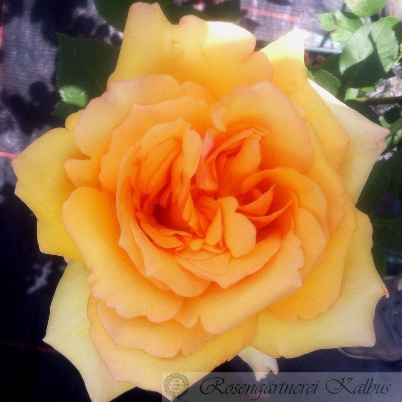 Besondere Rose Sophia Renaissance®