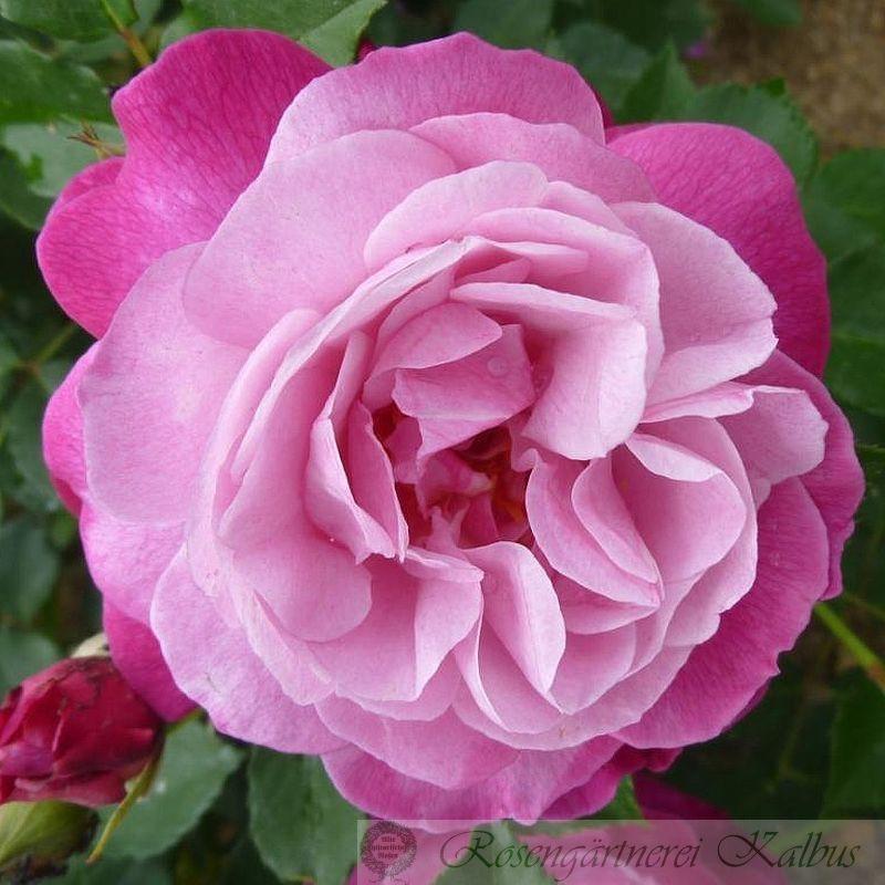 Historische Rose Sophie's Perpetual