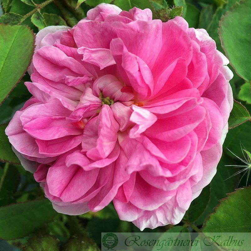 Historische Rose Soupert et Notting