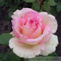 Moderne Rose Souvenir de Baden-Baden®