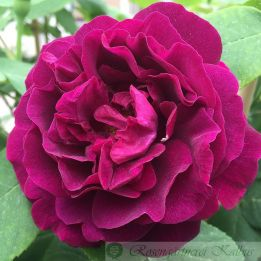 Historische Rose Souvenir du Dr. Jamain