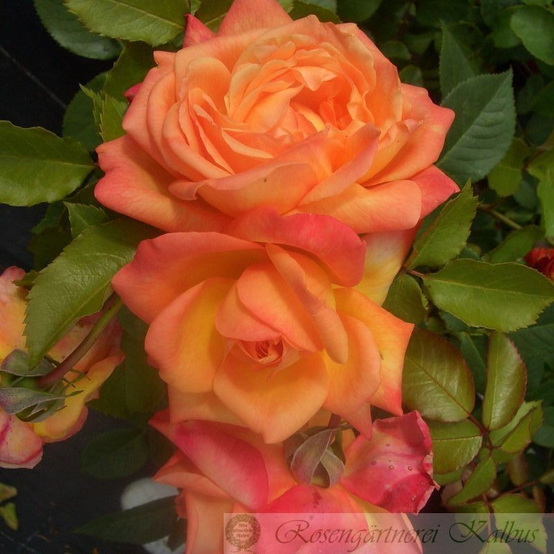 Moderne Rose Speelwark®