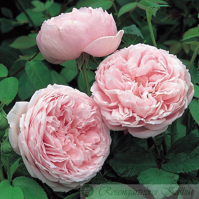 Besondere Rose Spirit of Freedom®