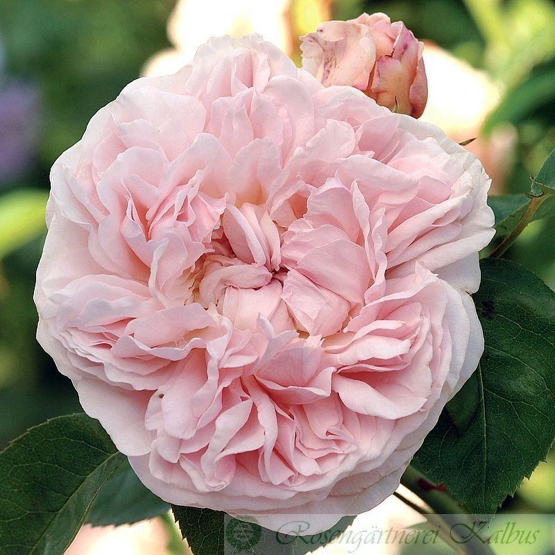 Besondere Rose St. Swithun®