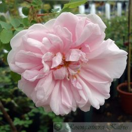 Wildrose Stanwell Perpetual