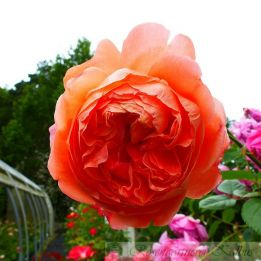 Besondere Rose Summer Song®