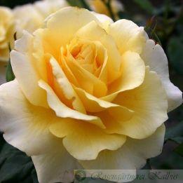 Moderne Rose Sunny Sky®