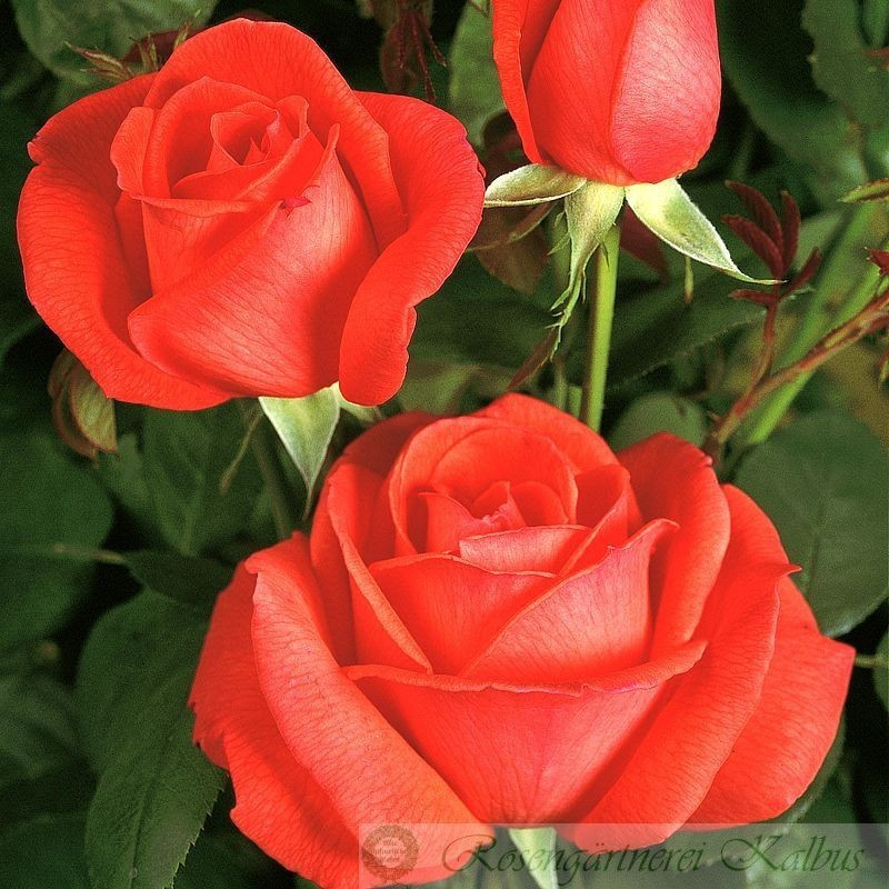 Moderne Rose Super Star®