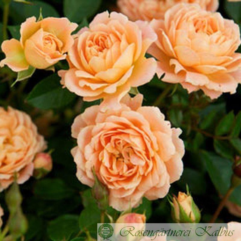 Moderne Rose Sweet Dream