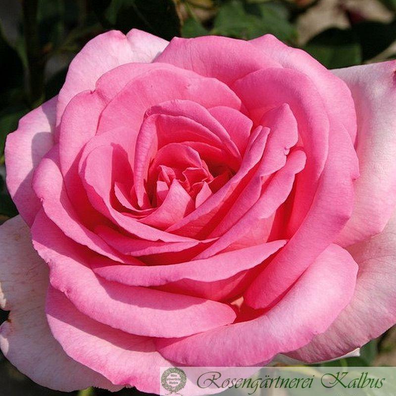 Edelrose Sweet Parole®