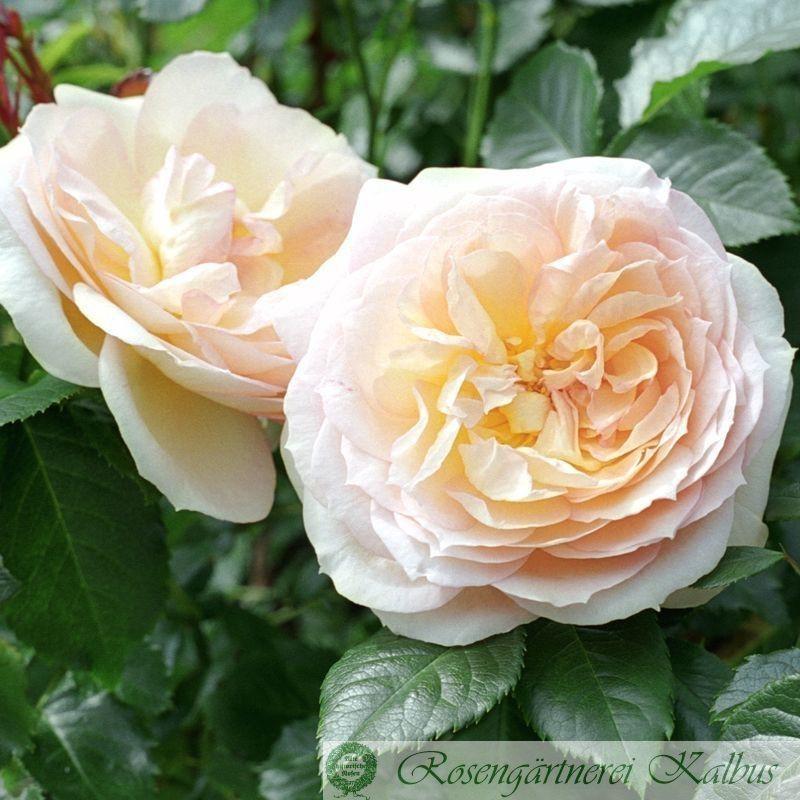 Moderne Rose Tchaikovski®