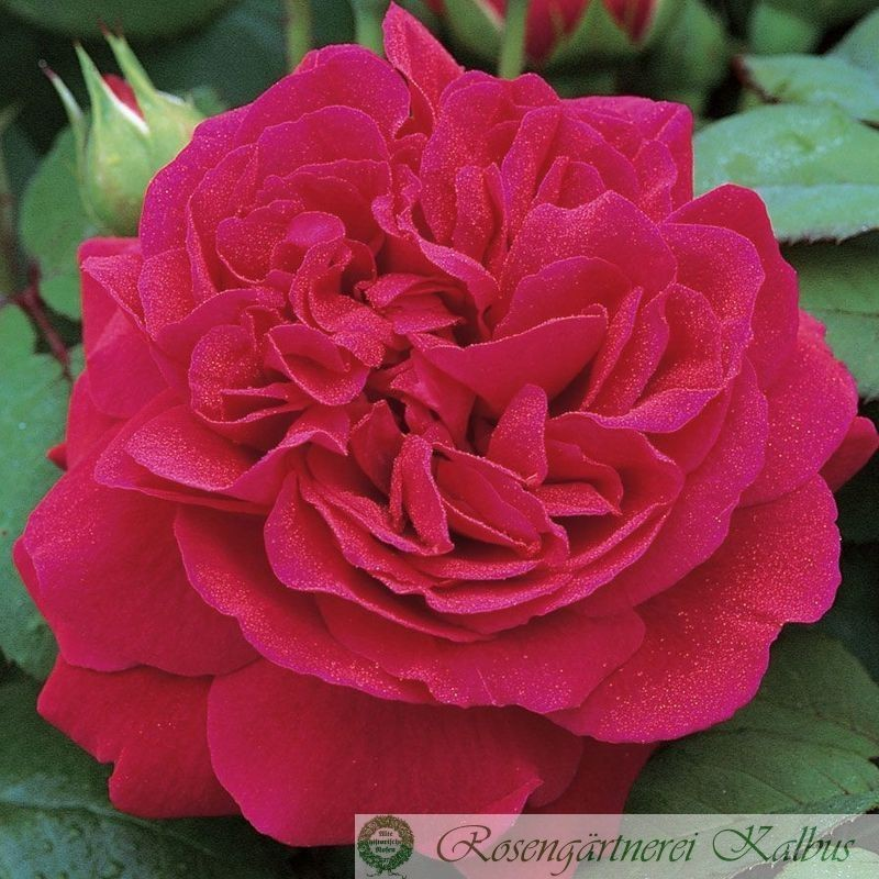 Besondere Rose Tess of the d'Urbervilles®