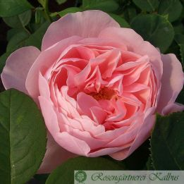 Besondere Rose The Alnwick Rose®