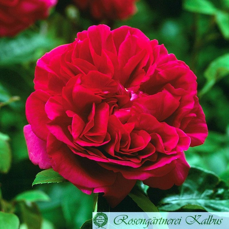 Englische Rose The Dark Lady®