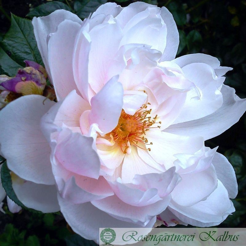 Englische Rose The Generous Gardener®