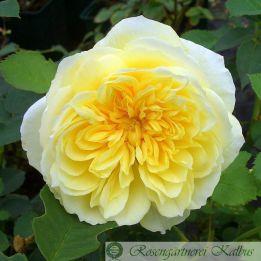 Besondere Rose The Pilgrim®