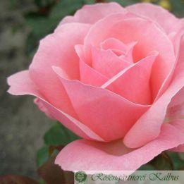 Moderne Rose The Queen Elizabeth®