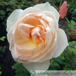 Englische Rose The Shepherdess®