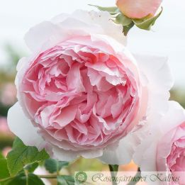 Besondere Rose The Wedgewood Rose®