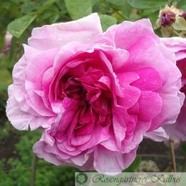 Historische Rose Tour de Malakoff