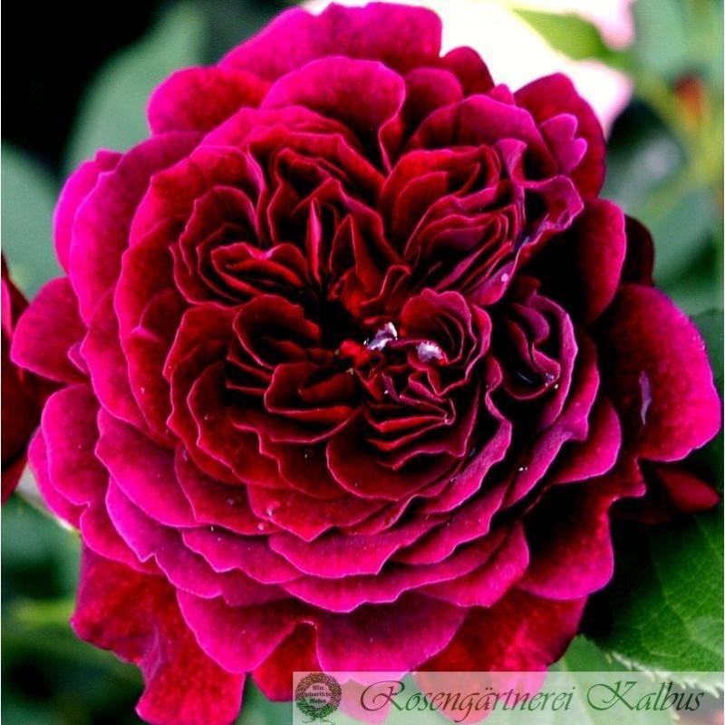 Englische Rose Tradescant®