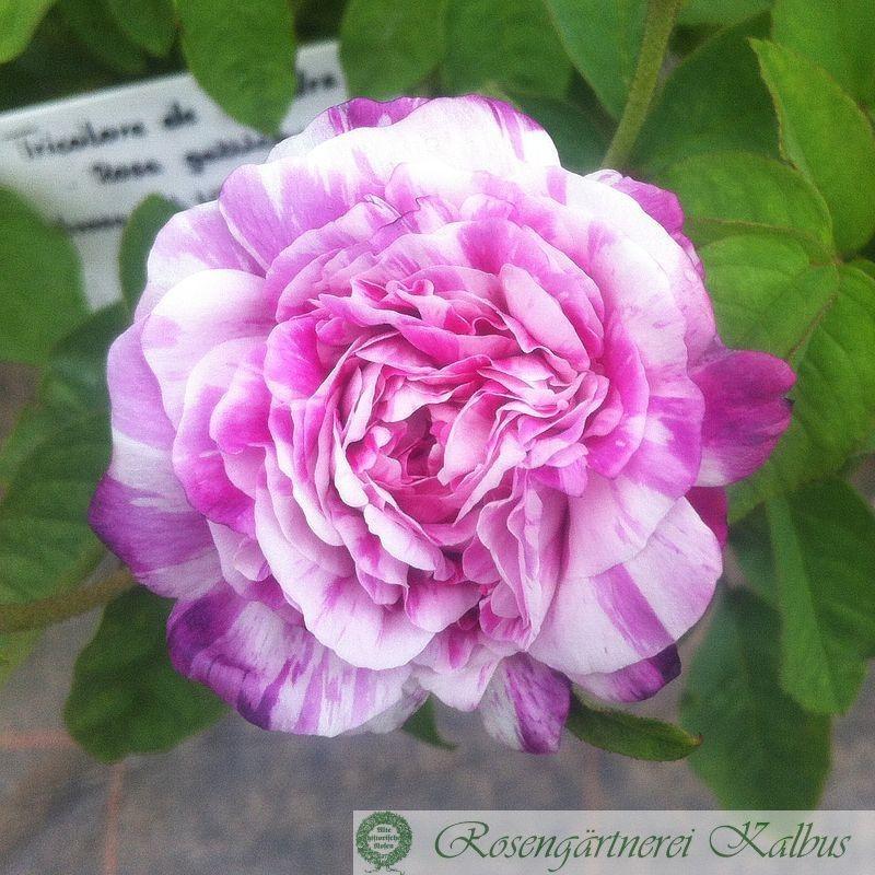 Historische Rose Tricolore de Flandre