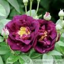 Tuscany (Old Velvet Rose)