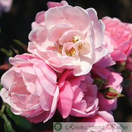 Besondere Rose Utopia®