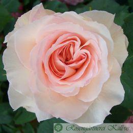 Besondere Rose Véronique B®