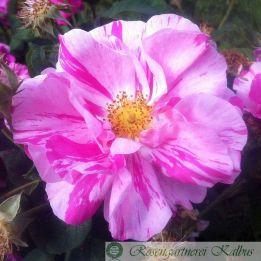 Historische Rose Versicolor (Rosa Mundi )