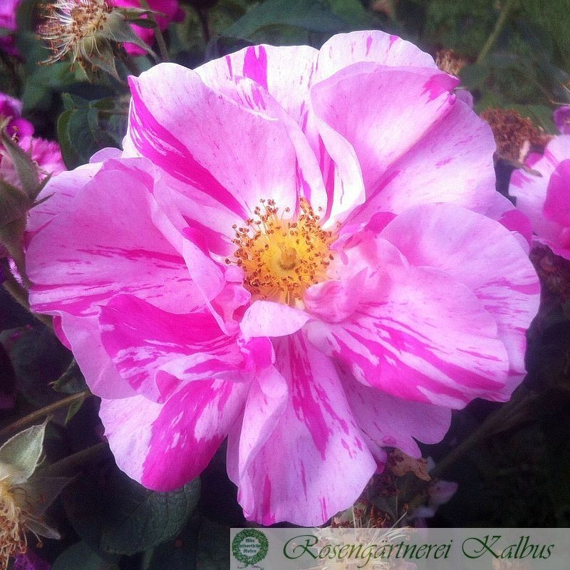 Versicolor (Rosa Mundi )