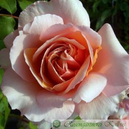 Besondere Rose Versigny®