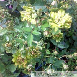 Historische Rose Viridiflora