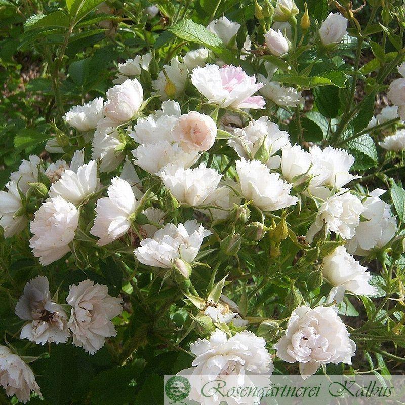 Historische Rose White Grootendorst