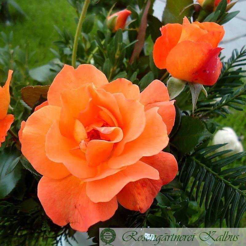 Moderne Rose Westzeit®
