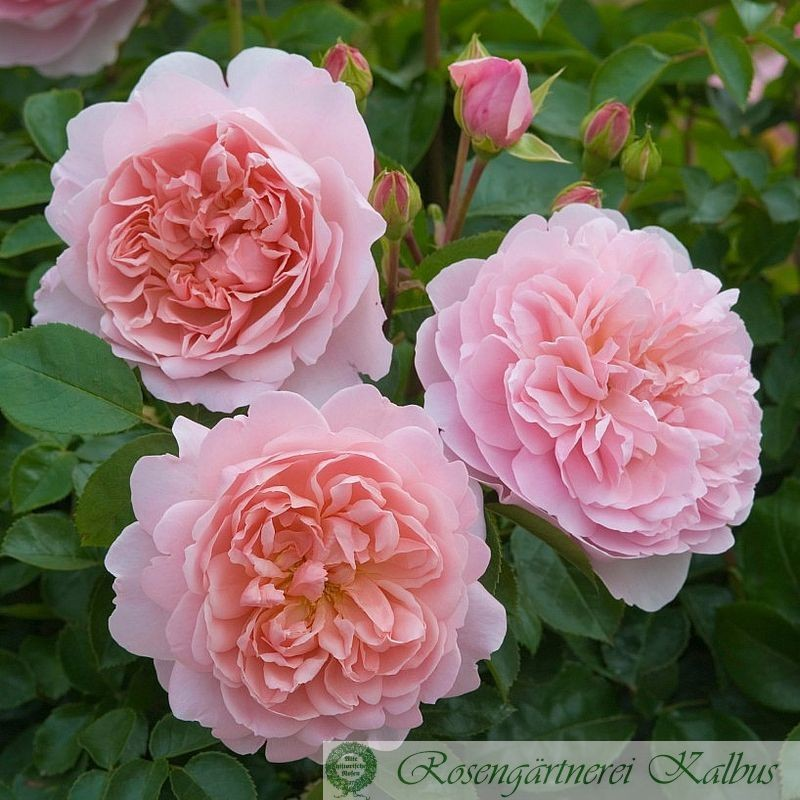 Englische Rose Wildeve®