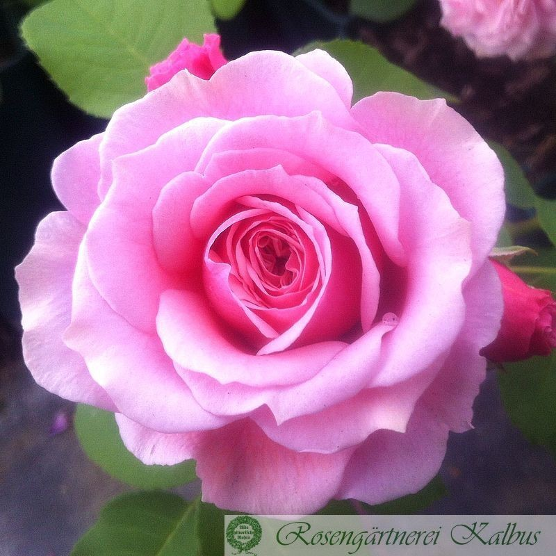 Besondere Rose William Christie®
