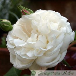 Besondere Rose Winchester Cathedral®