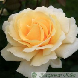 Moderne Rose Winter Sun®