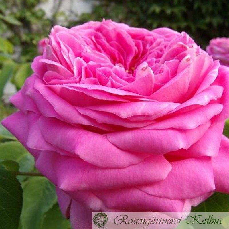 Historische Rose Yolande d' Aragon