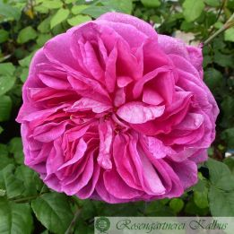 Besondere Rose Young Lycidas®