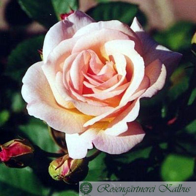 Historische Rose Penelope