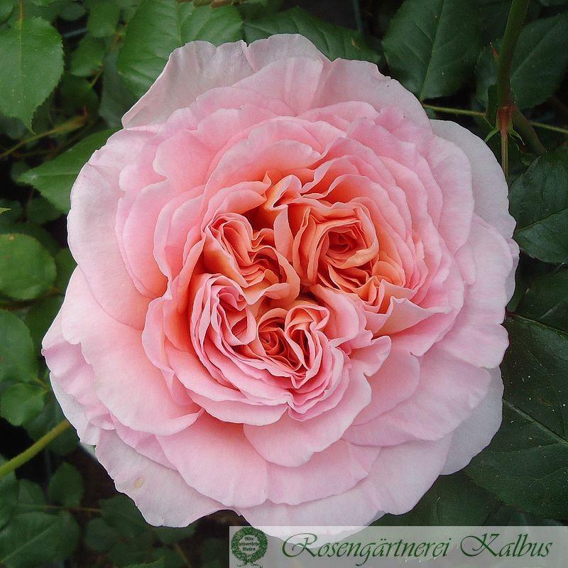 Englische Rose Perdita®