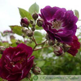 Kletterrose Perennial Blue®